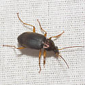 Vivid Metallic Ground Beetle - Chlaenius tricolor - male