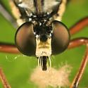 Eudioctria sp.? - Dioctria hyalipennis