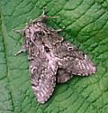 Plain Prominent Moth - Notodonta torva