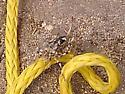 grasshopper hybrid? - Aglaothorax - female