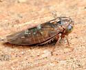 Leafhopper - Idiocerus n-species