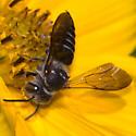 Megachilidae - Coelioxys