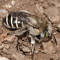 Burrowing Bee - Anthophora californica - female