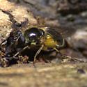 Syphrid Fly - Blera badia
