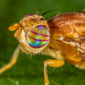 Unknown Fruit Fly - Euphranta canadensis - female
