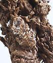 Open pupa - female