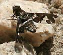 Bee Fly (Genus Xenox)? - Exoprosopa dorcadion
