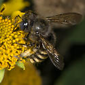 Unknown bee - Xylocopa tabaniformis - female