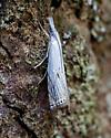 Small White Grass-veneer - Crambus albellus