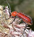 Black N Red Blister (?) Beetle - Batyle suturalis