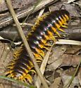 Cyanide millipede? - Pleuroloma flavipes