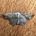Moth - Euchlaena?  - Euchlaena - male