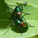 Chrysochus auratus - Dogbane Beetle - Chrysochus auratus - male - female
