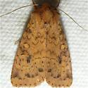 moth ID - Apamea helva