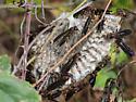 paper wasp – Polistes sp. - Polistes annularis