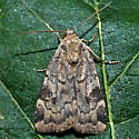 Unknown Moth - Cryptocala acadiensis