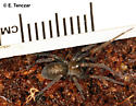 Fancy looking spider - Metaltella simoni