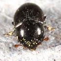 small beetle - Fabogethes nigrescens