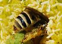 Cactus bee - Diadasia - female