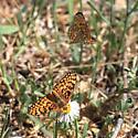 Arachne Checkerspot - Poladryas arachne - male - female