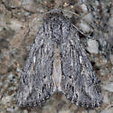 Moth - Rhizagrotis albalis