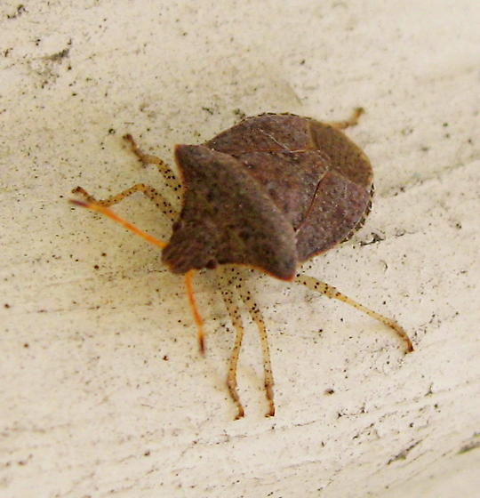 Stink Bug - Euschistus conspersus