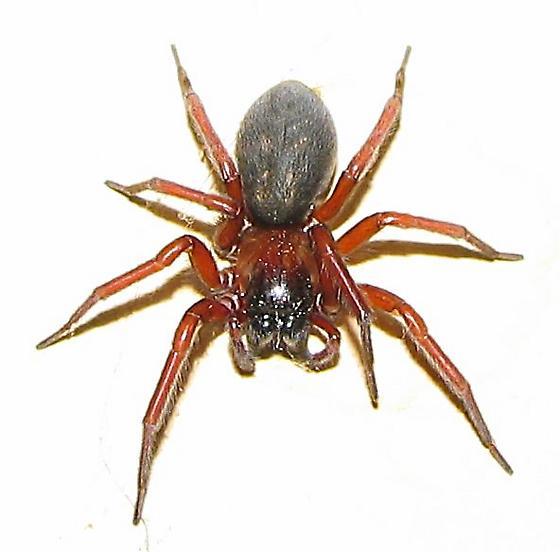 Unknown Spider in Garage - Callobius
