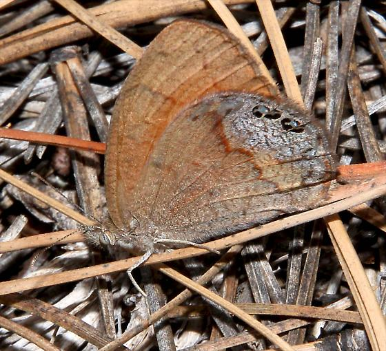 Canyonland Satyr Butterfly (Cyllopsis pertepida) - Cyllopsis pertepida