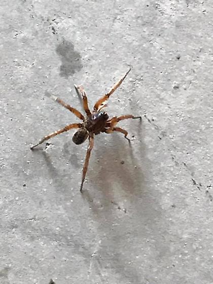 Big Spider unsure name or friend or foe - Tigrosa