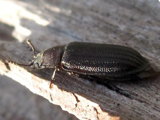 beetle - Grynocharis quadrilineata