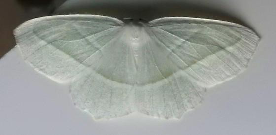6796 – Campaea perlata – Pale Beauty - Campaea perlata