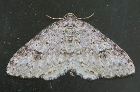Moth - Venusia
