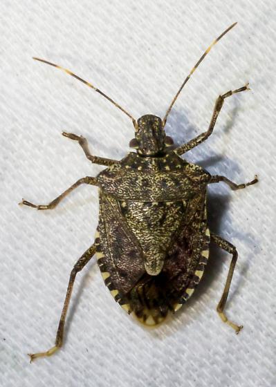 Meadow stink bug - Halyomorpha halys