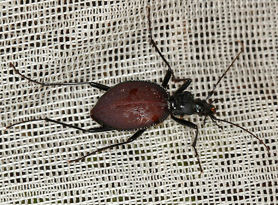 slug & snail hunter bioblitz beetle #3149 - Scaphinotus angusticollis