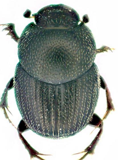 O. oklahomensis - Onthophagus oklahomensis