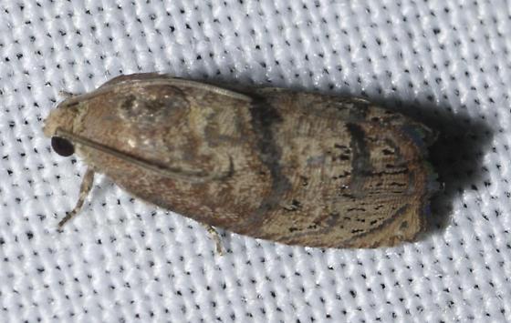 Another micro - Cydia latiferreana