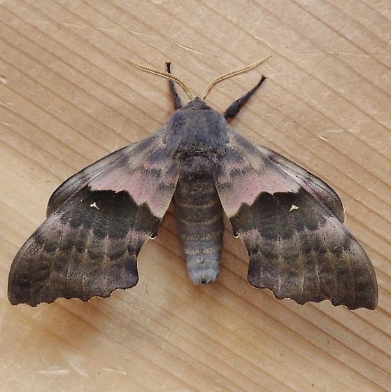 Sphingidae: Pachysphinx modesta - Pachysphinx modesta