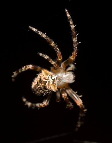 Spider - Araneus