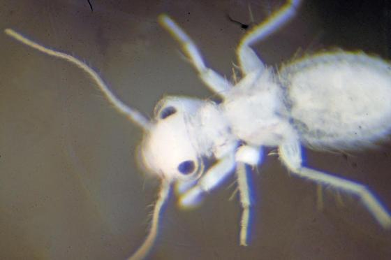 Unknown Bark Louse - Echmepteryx