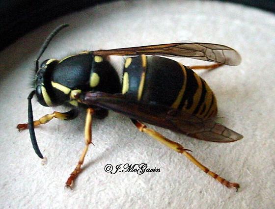 really big hornet? - Vespula vidua