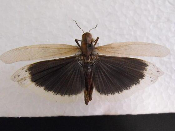 Carolina locust - Dissosteira carolina - female