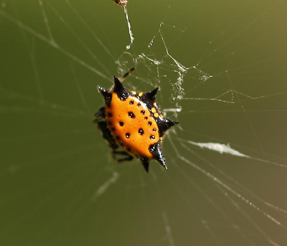 orange crab like spiny orb weaver - Gasteracantha cancriformis