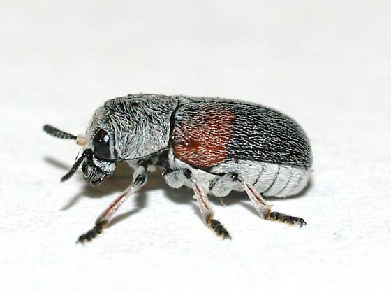 Clytrini on Mesquite - Megalostomis subfasciata
