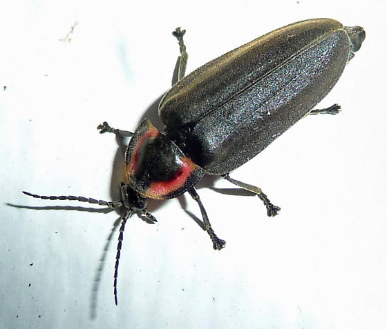 Black Firefly (Lucidota atra)?  - Ellychnia corrusca