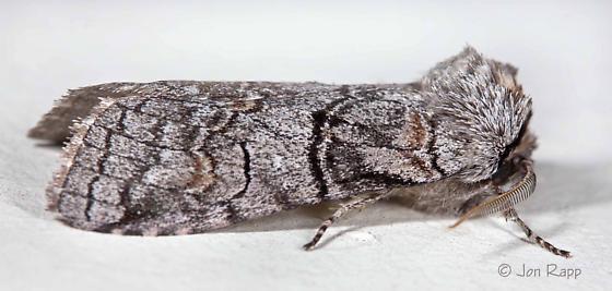 Afilia oslari - male