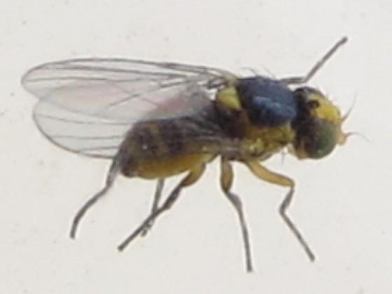 fly from leaf mine on Garlic Mustard - Liriomyza brassicae