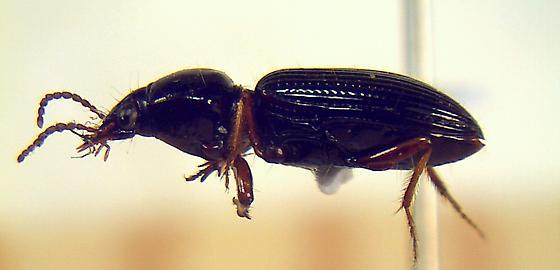 Carabidae.... - Clivina dentipes