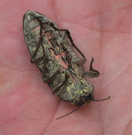 Beetle with copper underside - Texania fulleri