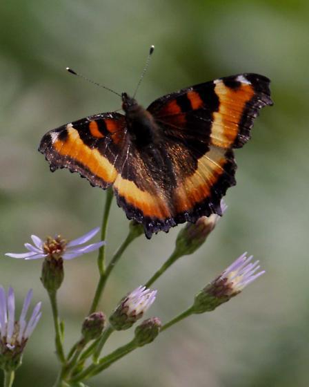 butterfly - Aglais milberti