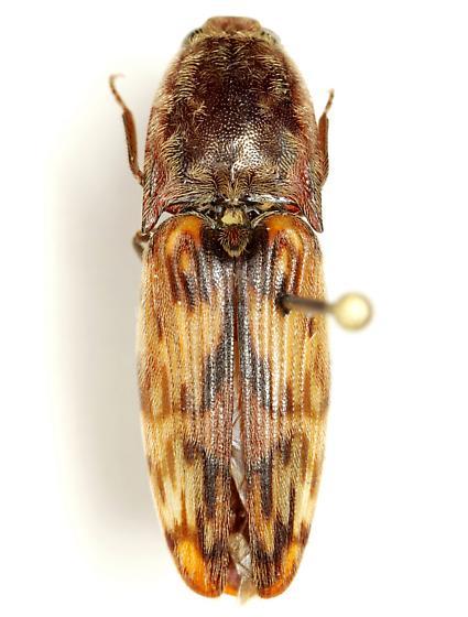 Pherhimius fascicularis (Fabricius) - Pherhimius fascicularis